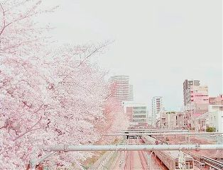 tokyo japan cherry blossoms nature pink