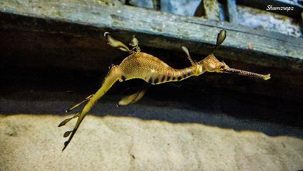 photography nokia nature fish seahorse