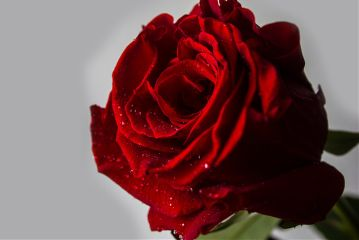 photography red rose flower love