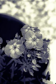 flower spring pencil art nature black & white