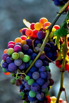 grape sun photography food colorful