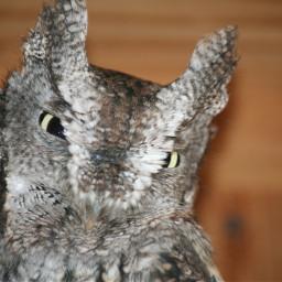 beautiful owl nature birds aviary