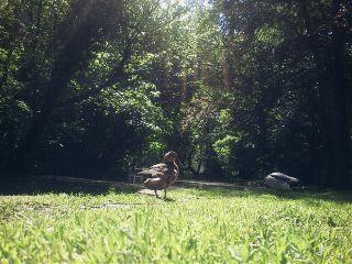 nature duck bird wapgreen green